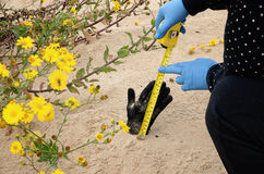 El forense está midiendo la longitud de la mano muerta fotografía de archivo libre de regalías