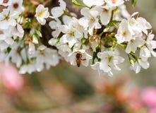 El forraje de las abejas para el néctar Imágenes de archivo libres de regalías