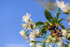 El forraje de las abejas para el néctar Foto de archivo