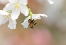 El forraje de las abejas para el néctar Foto de archivo libre de regalías
