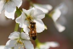 El forraje de las abejas para el néctar Imagen de archivo