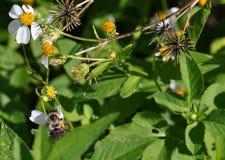El forraje manosea macro de la abeja Imagenes de archivo