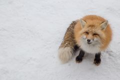 El Fox de Brown era durmiente y que caminaba en la tierra de la nieve Imagen de archivo libre de regalías