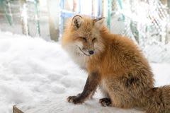 El Fox de Brown era durmiente y que caminaba en la tierra de la nieve Imagen de archivo