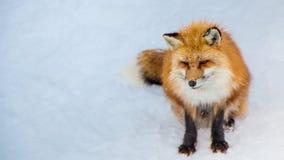 El Fox de Brown era durmiente y que caminaba en la tierra de la nieve Imagenes de archivo