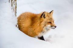 El Fox de Brown era durmiente y que caminaba en la tierra de la nieve Fotografía de archivo