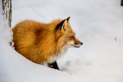 El Fox de Brown era durmiente y que caminaba en la tierra de la nieve Imágenes de archivo libres de regalías