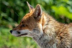 El Fox del italiano imagen de archivo