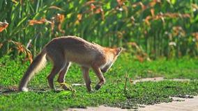 El Fox huele el viento metrajes