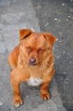 El Fox le gusta el perro Imágenes de archivo libres de regalías