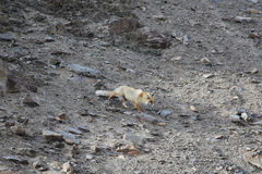 El Fox rojo va abajo en una ladera pedregosa Imagenes de archivo