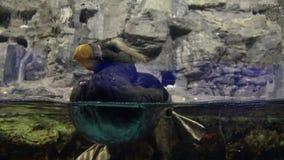 el frailecillo copetudo 4k está nadando en el zoológico de Taiwán almacen de metraje de vídeo
