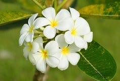 El frangipani blanco del Plumeria florece en árbol con backgro natural Imagen de archivo