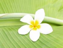 El frangipani blanco florece en el medio de amarillo en la hoja del plátano Fotos de archivo