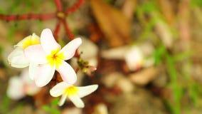 El Frangipani del Plumeria florece la toma panorámica a través de la alta definición almacen de metraje de vídeo