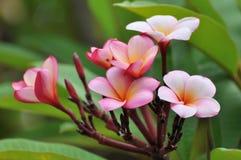 El Frangipani florece el amarillo rosado blanco imagenes de archivo