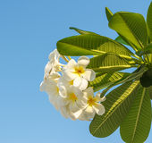 Flores del Frangipani. Fotos de archivo