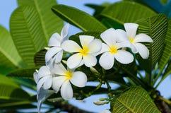 El Frangipani florece el fondo blanco del ramo de la flor con las hojas verdes imagen de archivo libre de regalías