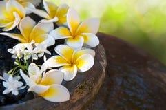 Flores frescas del Frangipani que flotan en el tarro Foto de archivo