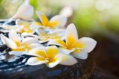 Flores frescas del Frangipani que flotan en el tarro Imágenes de archivo libres de regalías