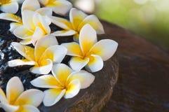 Flores frescas del Frangipani que flotan en el tarro Fotografía de archivo