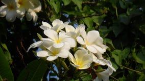 El Frangipani o el frangipani es una planta perenne en el Plumeria de la oscuridad o del plumeria de la familia Hay varios tipos  fotografía de archivo