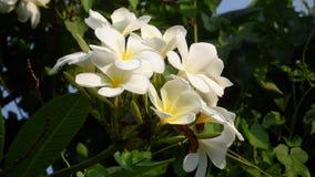El Frangipani o el frangipani es una planta perenne en el Plumeria de la oscuridad o del plumeria de la familia Hay varios tipos  fotos de archivo libres de regalías