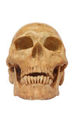 El frente del modelo humano del cráneo aislado incluye la trayectoria Foto de archivo