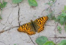 El Fritillary verde oscuro de la mariposa se sienta en una tierra agrietada seca Foto de archivo libre de regalías