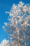 El Frost en las ramificaciones de un abedul Imagen de archivo