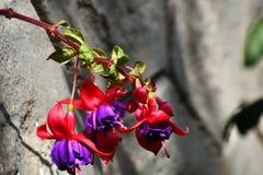 El fucsia es un género de plantas florecientes que consiste sobre todo en arbustos o pequeños árboles imagen de archivo libre de regalías