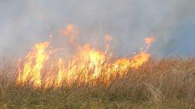 El fuego salvaje se separa hacia fuera a trav?s de la estepa del bosque Hierba seca ardiendo en el fuego natural almacen de metraje de vídeo