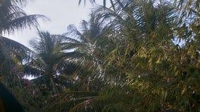 El fuerte viento cercano de la visión sacude ramas grandes de la palma almacen de metraje de vídeo