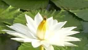 El funcionamiento de la abeja en loto y del grupo de la abeja encuentra el polen en loto en el día en la mañana almacen de video
