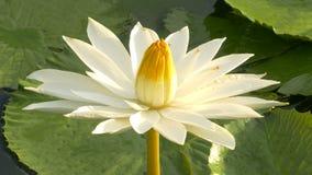 El funcionamiento de la abeja en loto y del grupo de la abeja encuentra el polen en loto en el día en la mañana metrajes