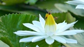El funcionamiento de la abeja en loto y del grupo de la abeja encuentra el polen en loto en el día en la mañana almacen de metraje de vídeo