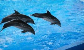 El funcionamiento de los delfínes en dolphinariums imágenes de archivo libres de regalías