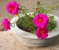 Flores de Portulaca en pote concreto Imagen de archivo