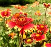 El gaillardia floreciente de la flor de las demostraciones coloridas de la foto Fotografía de archivo libre de regalías