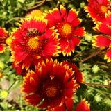 El gaillardia floreciente de la flor de las demostraciones coloridas de la foto Fotografía de archivo