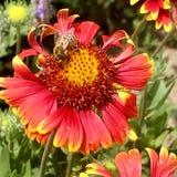 El gaillardia floreciente de la flor de las demostraciones coloridas de la foto Fotos de archivo libres de regalías