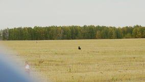 El galgo negro alcanza el perro gris almacen de metraje de vídeo