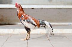El gallo Foto de archivo libre de regalías