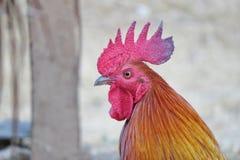 El gallo Fotos de archivo libres de regalías