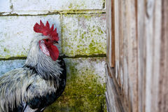 El gallo Imagen de archivo libre de regalías
