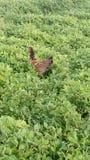 el gallo amontona verde Fotos de archivo