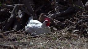 El gallo blanco con los pollos en el corral, los animales vaga por en el corral metrajes