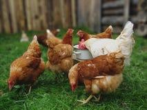 El gallo blanco y las gallinas rojas beben el agua en la yarda fotografía de archivo libre de regalías
