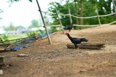 El gallo camina en fondo de la granja imagen de archivo libre de regalías