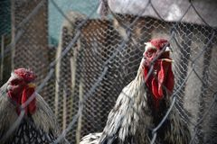 El gallo canta detrás de la cerca en una granja Dos gallos atrapados en una jaula Foto de archivo libre de regalías